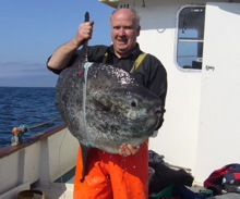 Giant sunfish satellite tagged for first time in Irish & UK waters