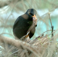 Climate Changes hits UCC campus as Blackbird eggs hatch
