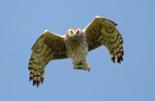 Vulnerability of birds of prey revealed at Ornithological Research Conference
